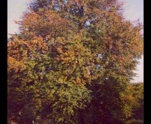 A vadkörtefa közelében